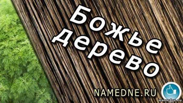 Божье дерево лечебные свойства и противопоказания, фото, применение в народной медицине