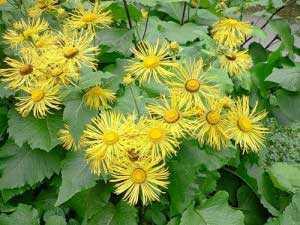 Листья боярышника полезные свойства и противопоказания