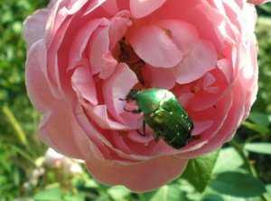 Гусеницы на розах чем обрабатывать от насекомых