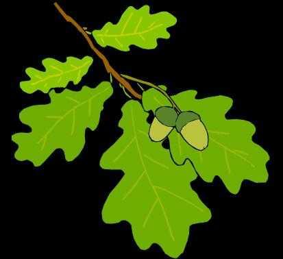 Отвар дубовых листьев