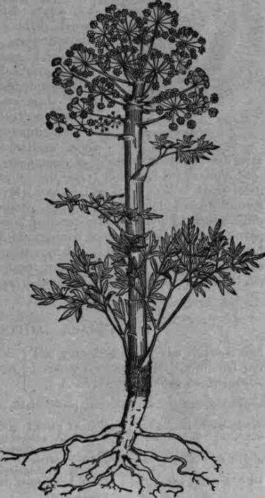Омик корень лечебные свойства и применение