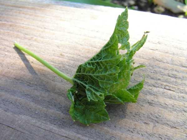 У смородины скручиваются листья чем обработать и какими средствами бороться